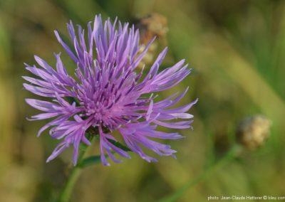 ALSACE fleur  ©bleu comm...